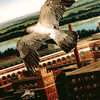 Peregrine-AB-World Bird Sanctuary.jpg