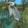 blue-heron-standing-in-water.jpg
