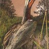 brown-pelican-standing-in-wetland.jpg